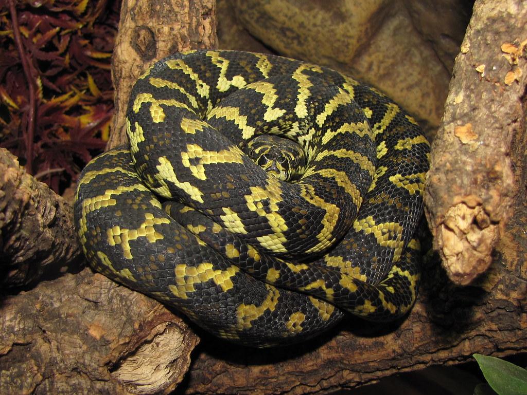 Jungle carpet python (Morelia spilota)