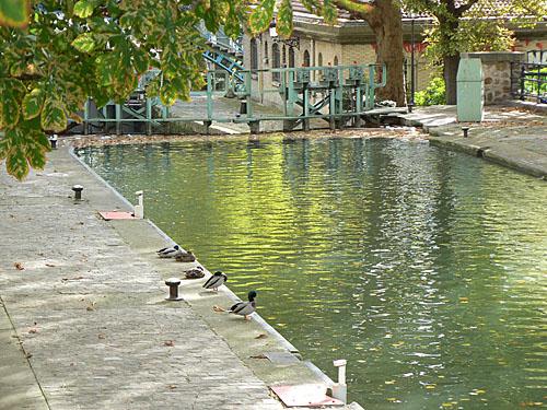 Canards au bord du canal.jpg