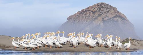 [フリー画像] 動物, 鳥類, ペリカン科, ペリカン, パノラマ, 201011121700