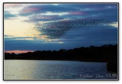 More starlings (zweiblumen) Tags: uk england nature dusk wildlife flock starling staffordshire picnik sturnusvulgaris ndfilter tamron28300mm canoneos50d aqualatemere zweiblumen