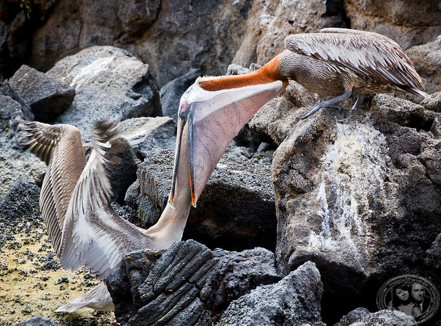 Pelican Feeding Another