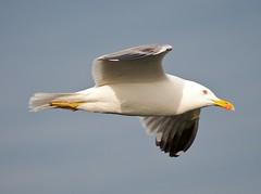 A yellow-legged gull, Isola di Ventotene, Lazio, Italy. May 2010. (ecologyweb) Tags: italy bird birds gull aves ventotene lazio larus laruscachinnans itbiodiv