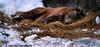 Sleeping Bear II (Carlo Prati Photography) Tags: bear sleeping brown snow zoo aquarium pittsburgh carlo ppg prati carlopratiphotography pratidesigns