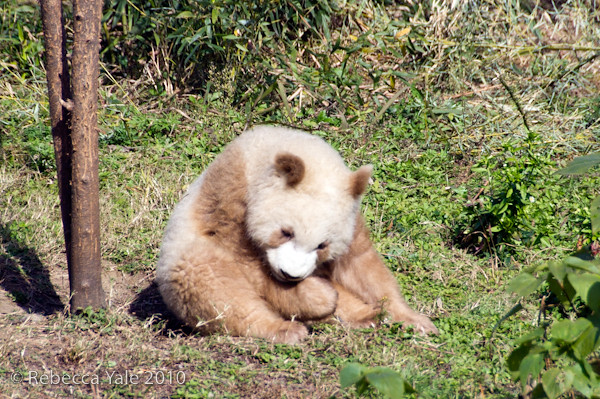 RYALE_Panda_Bears_14