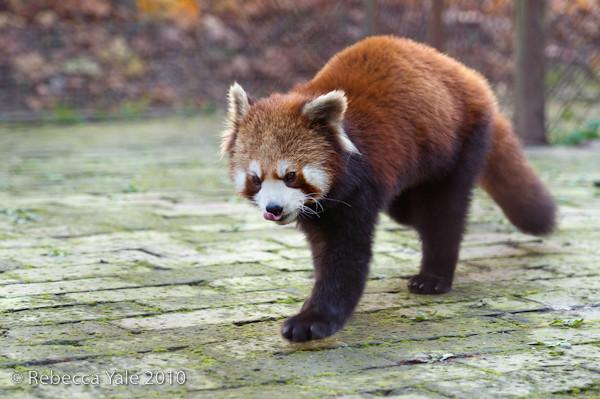 RYALE_Red_Panda_2