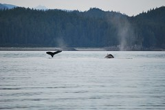A pair of Humpbacks