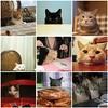 Dinner Mosaic 2 (rootcrop54) Tags: noah dinner cat table milk waiting chat gato 猫 sparky macska gatto ringo gatti kot kočka kedi chatte katt kissa köttur mačka kucing tangy otherpeoplesphotos кошка 고양이 katė γάτα maček kaķis gorbe cc8000 yellowcathead pi-sică