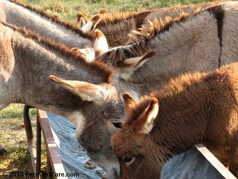 Donkey Ears 4