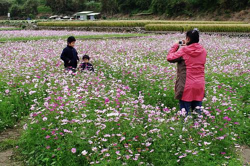 2010 銅鑼杭菊