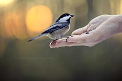 thanks, kid. (kvdl) Tags: november autumn fall bokeh britishcolumbia surrey chickadee blackcappedchickadee birdinthehand bearcreekpark kvdl canonef70200mmf28lisiiusm bridinhand