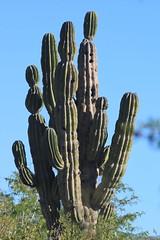 Cactus in Cabo San Lucas