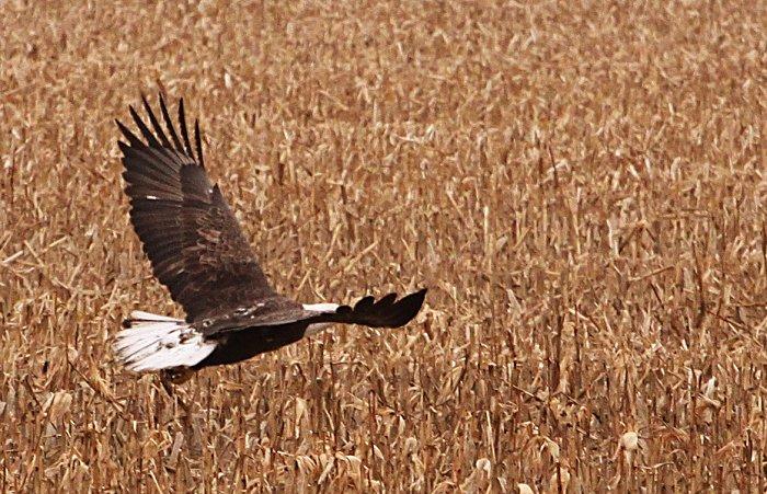11-20-eagle1