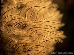 amber waves (Urban.Photography) Tags: autumn flower macro dead gold fuzzy clematis seeds dying flickrchallengegroup flickrchallengewinner thechallengefactory