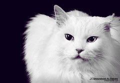 || Cat || (Abdulrahman AL-Dukhaini || ) Tags: cat lens nikon 85mm 200 18 2010 1431  d90    abdulrahman     aldukhaini
