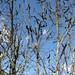 Unknown disease in oak  - 04