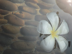 Floating Flower (sam_ombregt) Tags: white flower water rocks floating peaceful