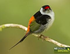 Pin-tailed Manakin - Ilicura militaris