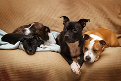 Our Gang (Wayner Cullinaner) Tags: jester kali willow harvey staffy staffies staffords staffordshirebullterriers