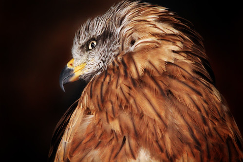 Black kite: the softer side