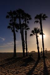 Palm tree into the sun (pascalct) Tags: santamonicabeach beach usa palmtree landscape sunset sand backlight santamonica california étatsunis us