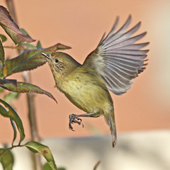 Striated thornbill (dianecutting44) Tags: australia thornbill canberra canon7dmark2 small bird fluttering
