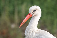 A stork portrait @900mm (Ciconia ciconia) (.: mike | MKvip Beauty :.) Tags: sony⍺6300 sonyilce6300 sonyalpha6300 sonyalpha sony alpha emount ⍺6300 ilce6300 canonef300mmƒ4lisusm ef300mmf4lisusm canon canonl 300mmƒ4l 300mmƒ4 is usm kenko2xteleplusmc7dgxcaf kenko metabonesefemounttsmart metabones canonefe eftoemount primelens prime manualexposure manual handheld availablelight naturallight backlight backlighting goldenhour shallowdof bokeh bokehlicious beyondbokeh extremebokeh smoothbokeh closeup dreamy soft zen nature green orange yellow red summer animal stork ciconiaciconia storch wörthamrhein germany europe mth mkvip metabonesefemounttsmartadaptermarkiv greenscene ef3004lisusm2x ngc npc