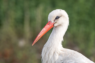 A stork portrait @900mm (Ciconia ciconia)