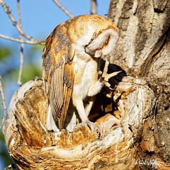 "Don't put your eye out! (dcstep) Tags: treehole owl owlet barnowl perched commercecity colorado unitedstates us barrlakebarrlakestateparkcanon5dmkivef500mmf4lisiief20xtciii1 000mmhandheldallrightsreservedcopyright2017davidcstephensdxoopticspro114naturebird 1000mm handheld ""all rights reserved"" ""copyright 2017"" ""david c stephens"" ""dxo optics pro 114"" nature bird n7a0489dxo ecoregistrationcase15586202651"