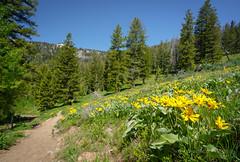 Arrowleaf Balsamroot along the path to Ski Lake (scepdoll) Tags: skilake philipscanyon wyoming jackson wildflowers hike arrowleafbalsamroot