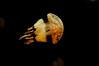 Squishy, aguamala (xekcenia) Tags: underwater water medusa invertebrate bajoelagua agua jellyfish