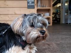 Flo Yorkie Poo Dog at  Fika Oakham Rutland (@oakhamuk) Tags: flo yorkiepoo dog fika oakham rutland