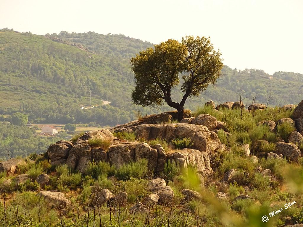 Águas Frias (Chaves) - ... árvore entre fragas ...