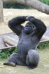 Gorille des plaines de l'ouest (olivier.ghettem) Tags: pairidaiza belgique belgium animal afrique africa terredesorigines gorille gorilledesplainesdelouest primate singe ape