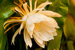 Night Blooming Cereus I (insatiable73) Tags: white green floral beautiful pungent nightbloomingcereus
