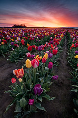 Spring Boquet (Deej6) Tags: flowers field festival oregon landscape shoe wooden spring mt pacific northwest farm tulip hood woodburn d300s tokina1116