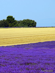 Colors Provenals / Colores Provenzales / Provence Colours (Jordi Bri) Tags: trees camp france tree field landscape arbol arboles wheat perspective lavender frana paisaje olympus arbres campo fields perspectiva provence camps lavande francia arbre campos trigo provenza paisatge lavanda dazur alpesdehauteprovence e510 lavenders lavandes blat valensole provena lavandas provencealpescote jordibrio landscapesshotinportraitformat