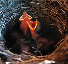 "birdlings bleating ""mama!"" (axiepics) Tags: baby bird nature birds interesting babies open nest junco explore newborn mouths twigs hatched juncos beaks exploreinteresting giap birdlings explored i500 explore112 birdling 1on1naturephotooftheweek giapaugust2010 1on1naturephotooftheweekaugust2010 copyrightalexskellyallrightsreserved"