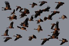 Magpie geese (Uhlenhorst) Tags: travel birds animals tiere reisen australia australien vgel 2009 abigfave