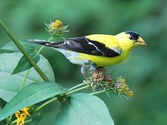 American Goldfinch (thoth1618) Tags: nyc newyorkcity ny newyork bird brooklyn garden goldfinch finch bbg brooklynbotanicgarden botanicgarden americangoldfinch brooklynny summerplumage wildcanary brooklynusa breedingmale easterngoldfinch spinustristis oneofeachbird