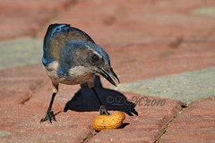 Will Pose For Peanuts (BluAlien) Tags: blue bird nikon jay sigma os apo western peanut scrub californica d300 aphelocoma hsm 150500mm