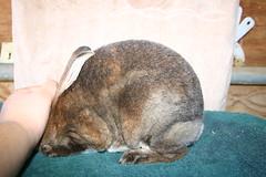 Hush (Polka-Dot Rabbitry) Tags: blue red black rabbit bunnies broken point sable mini polka dot rabbits rex bew lynx himalayan castor bunn rew rabbitry