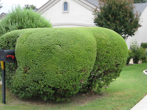 The rare texas butt bush