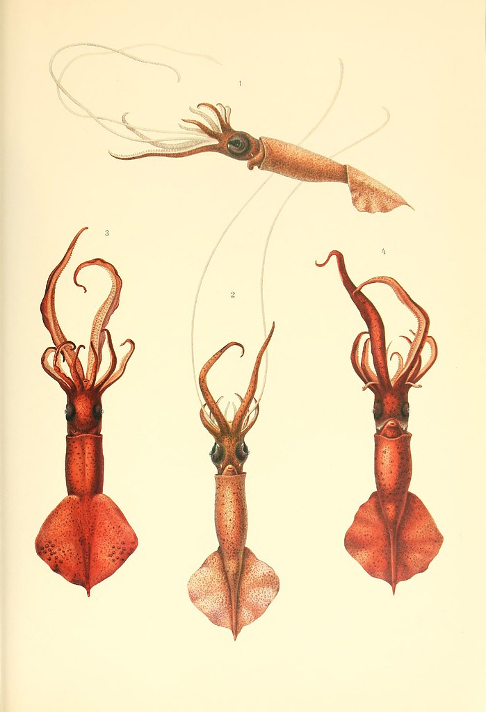 Mastigoteuthis glaukopis (1+2) and flammea (3+4)