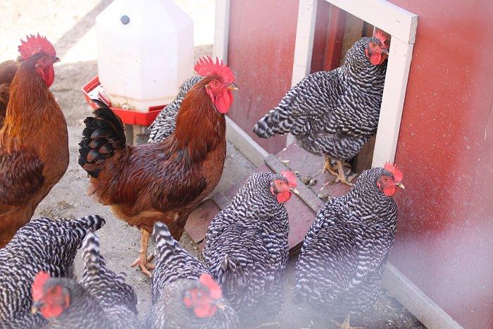 09-05-hens5