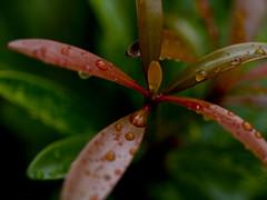 Wonders of rain 2 (tord75) Tags: macro water rain wonder droplets day texas houston clearlake