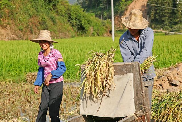Harvest season in Chengyang, Guangxi, China