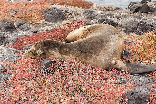 Sea Lion on South Plazas Island, Galapagos