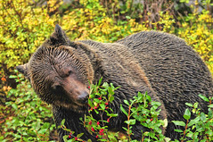 An Omnivore at Work (Jeff Clow) Tags: fall berries eating wildlife grizzly albertacanada banffnationalpark mywinners