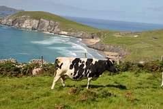 0830-132948 (Marcus Meissner) Tags: way cow bestof marcus dingle august irland september reise 2010 studiosus meissner