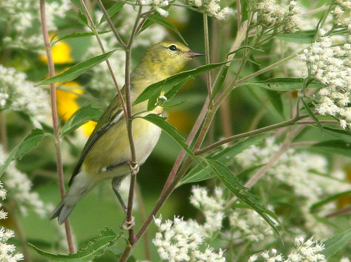 Tennessee Warbler 2-20100909